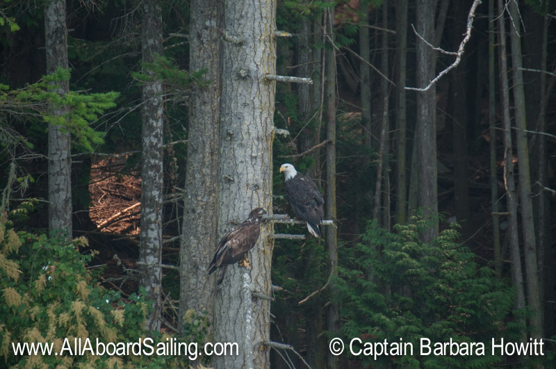 Juvenile Bald Eagle with adult bald eagle