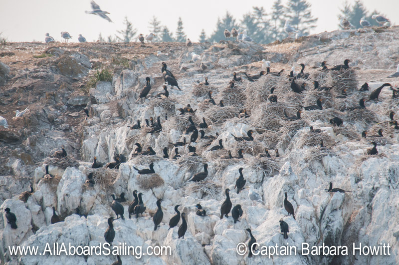 Brandt's and Double Crested Cormorants