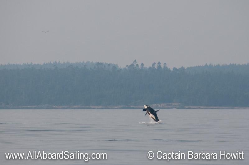 Male orca breaching