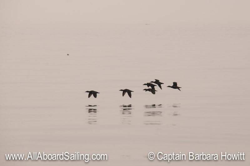 Surf scoter fly by