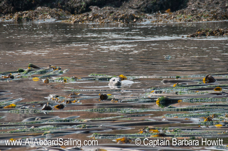 Harbor seal in the kelp