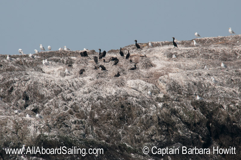 Cormorant nesting colony