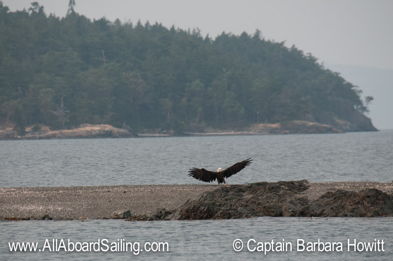 Bald eagle landing on Yellow Island