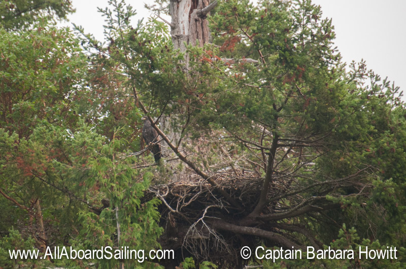 Bald eagle nest with chick