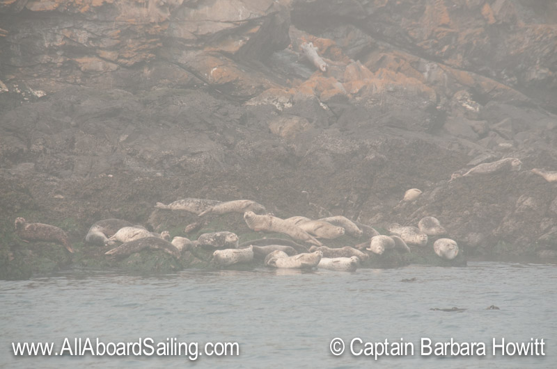 Harbor seals in the fog