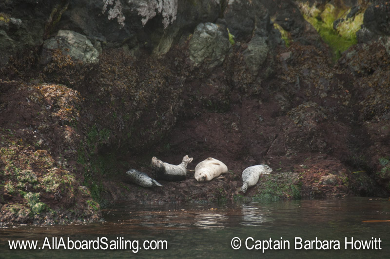 Harbor seals resting on the rocks