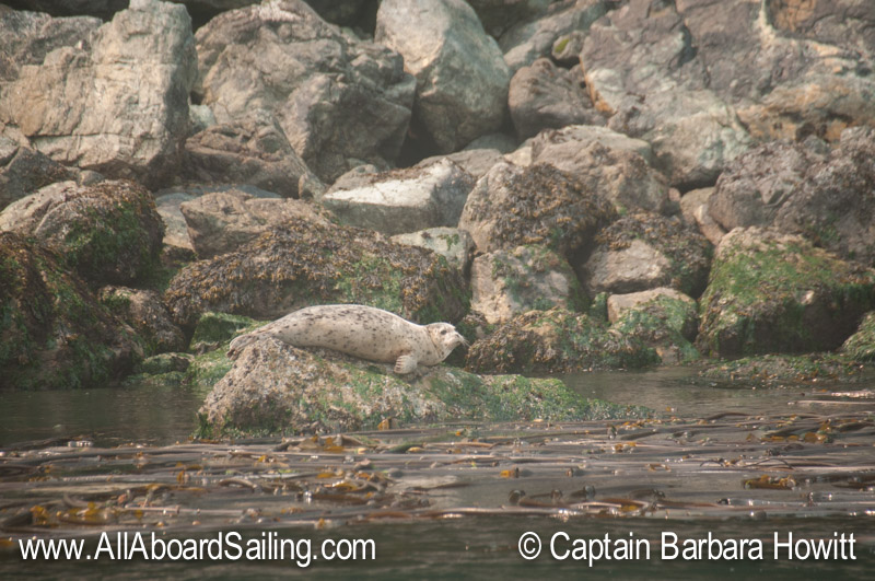 Harbor seal on the coast of Blakely Island