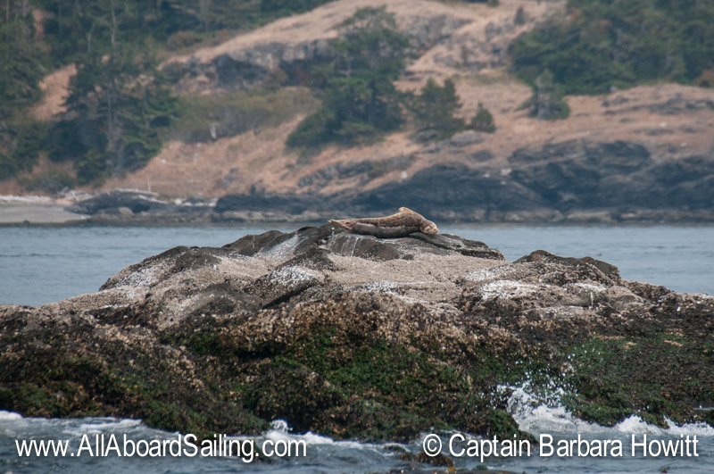 Harbor seal high on the rock