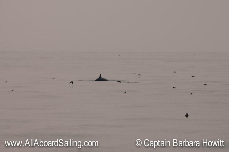 Minke whale surfacing in near the birds