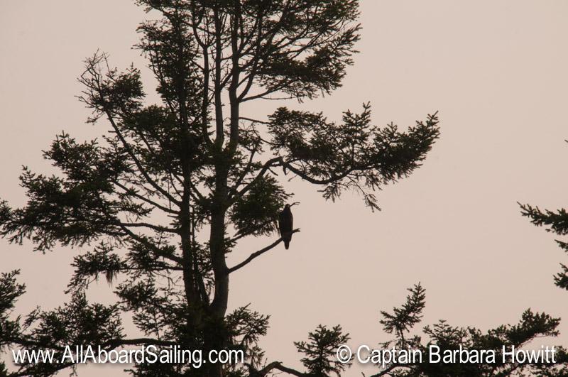 Bald eagle chick near its nest on Long Island