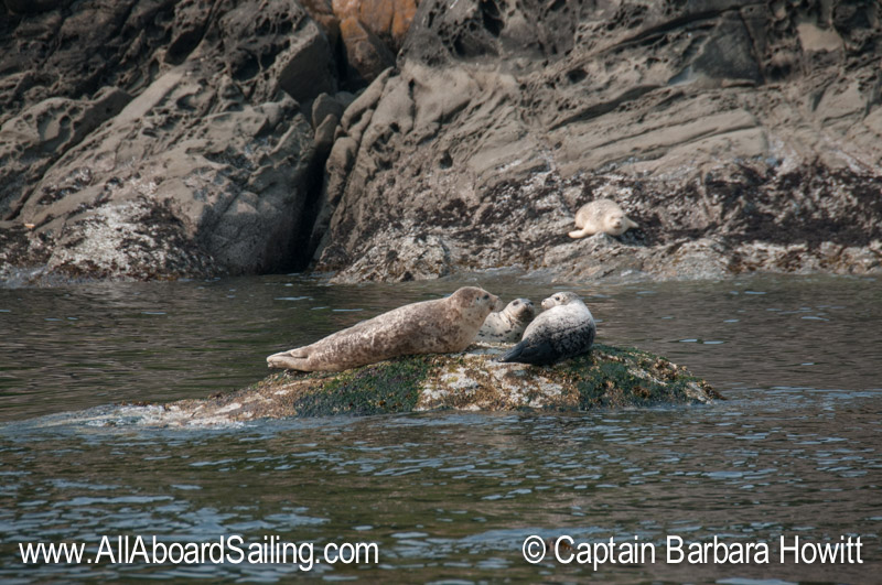 Harbor seals near Flattop Island