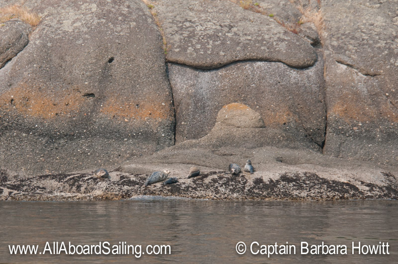 Harbor seals - Flattop Island