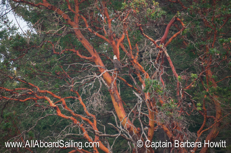 Bald eagle in Madrone tree