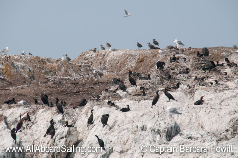 Double crested cormorants nesting on Goose Island