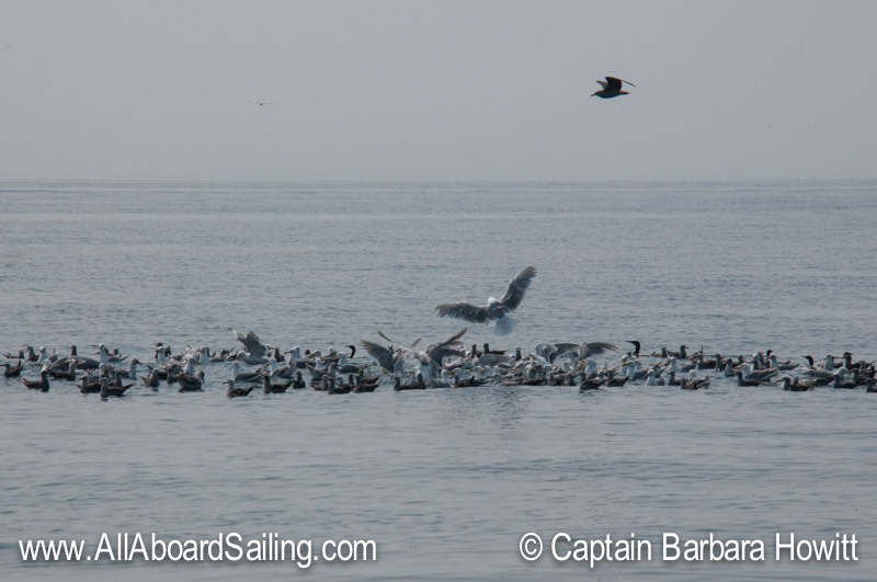 Gulls feeding in a bait ball