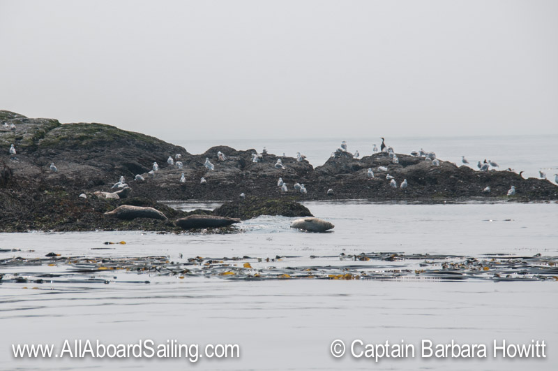 Harbor seals and gulls