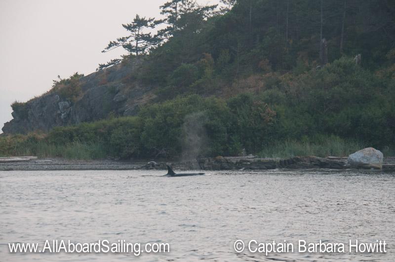 T19 hunting near Flattop Island