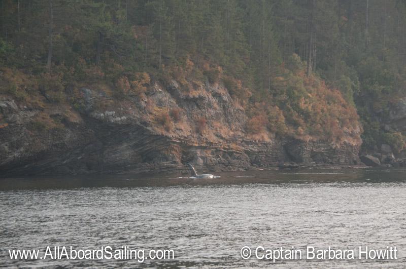 Orcas hugging the shore of Flattop Island