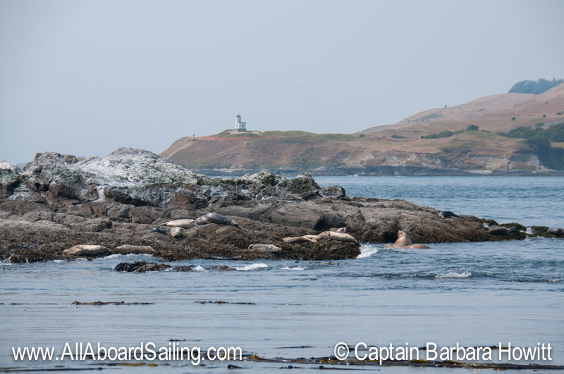 Harbor seals, steller sea lions, Cattle Pt Light