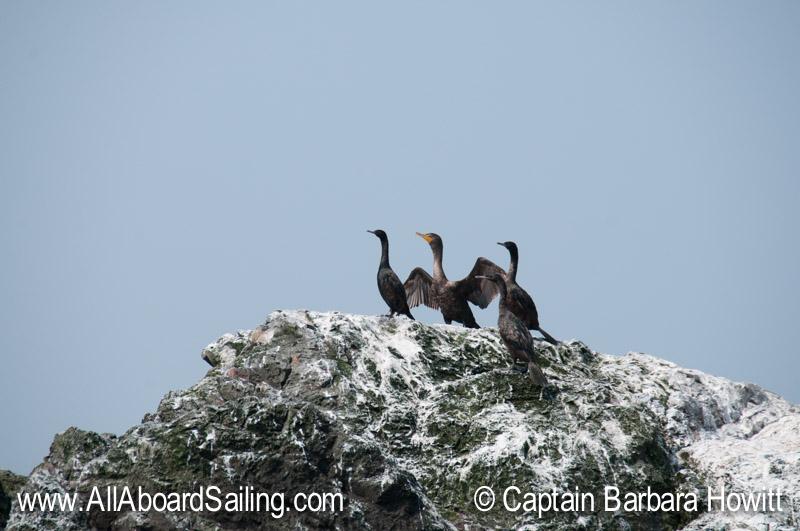 Pelagic and 1 double crested cormorant
