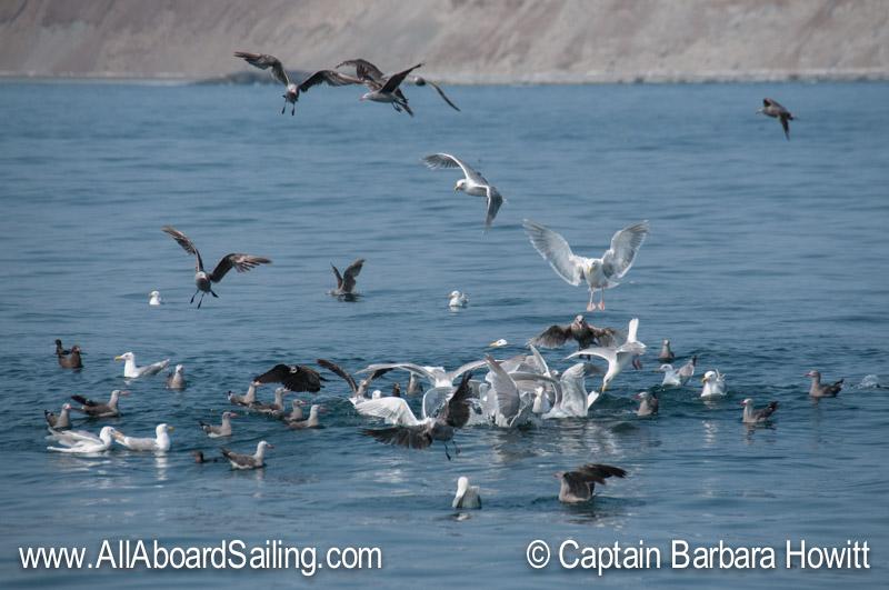 Gulls feeding on a bait ball