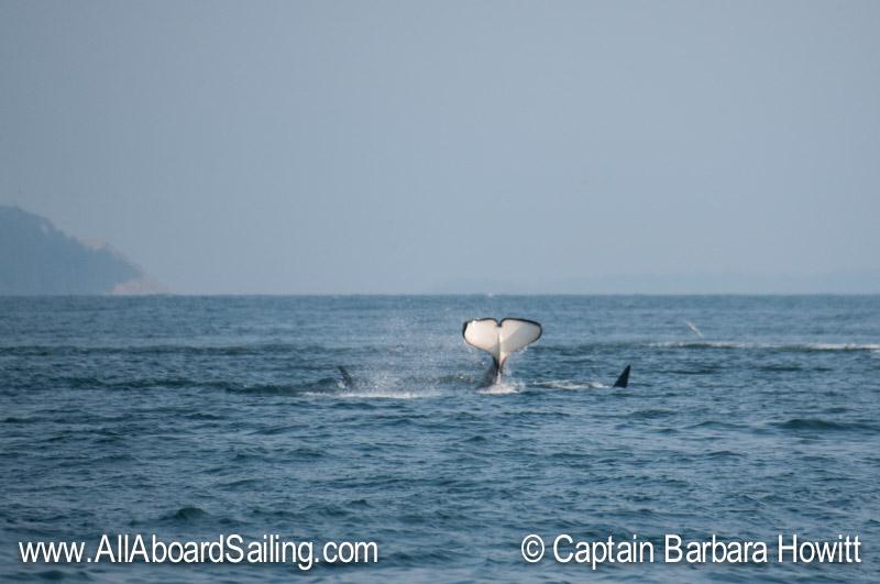 Orcas hunting near Smith Island