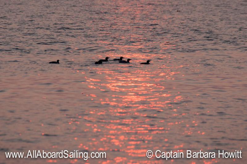 Common murres in the sun streak