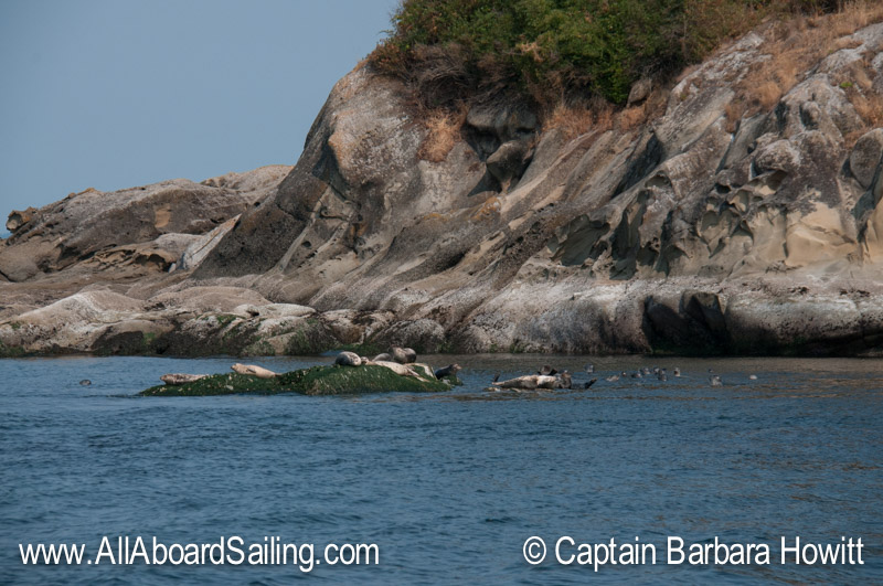 Harbor seals - Puffin Island