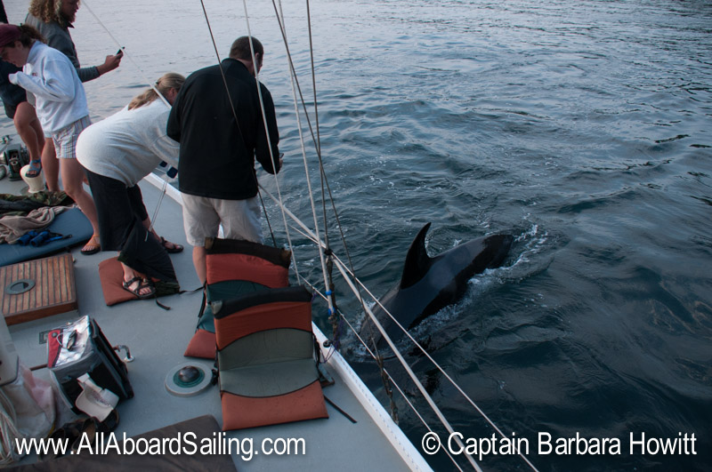 Orca swimming under our boat