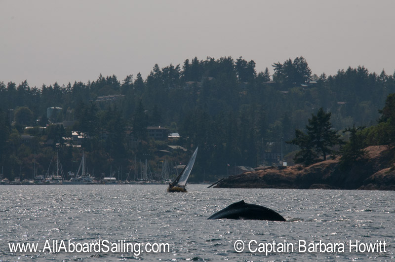 Humpback whale passing Friday Harbor