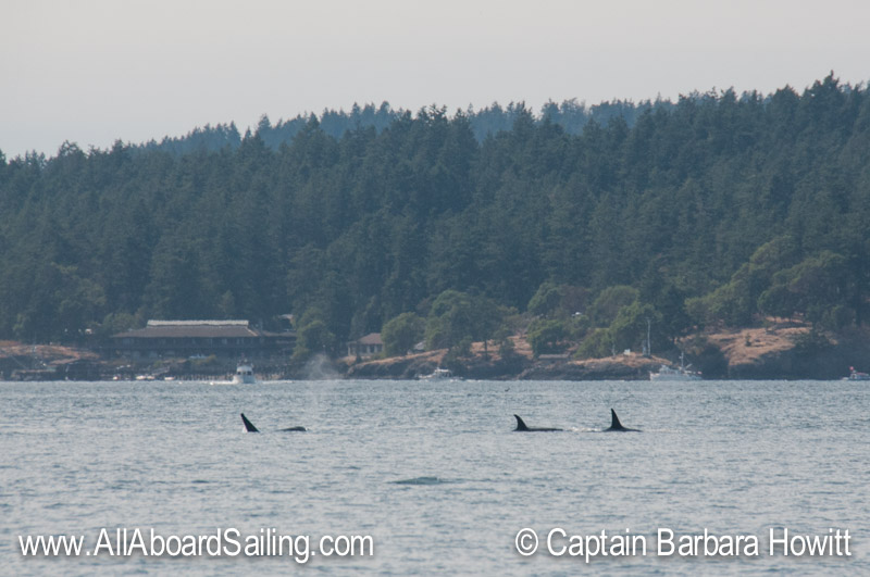 Transient orcas passing the Univ Washington Labs