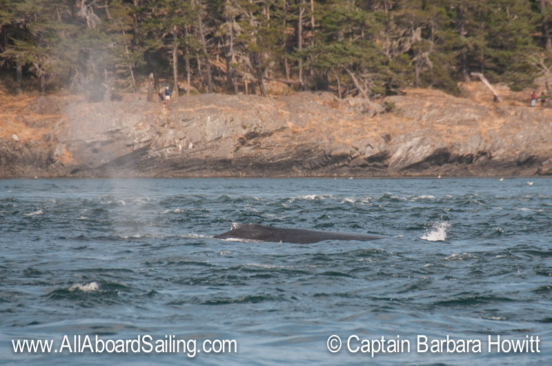 Humpback whale heading out of Cattle Pass