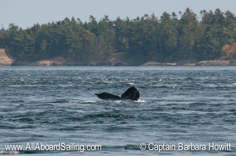 Humpback whale (aka Stitch) heading out of Cattle Pass