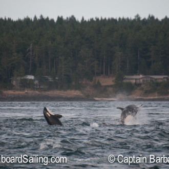 Double header – Humpback and orcas visit Friday Harbor