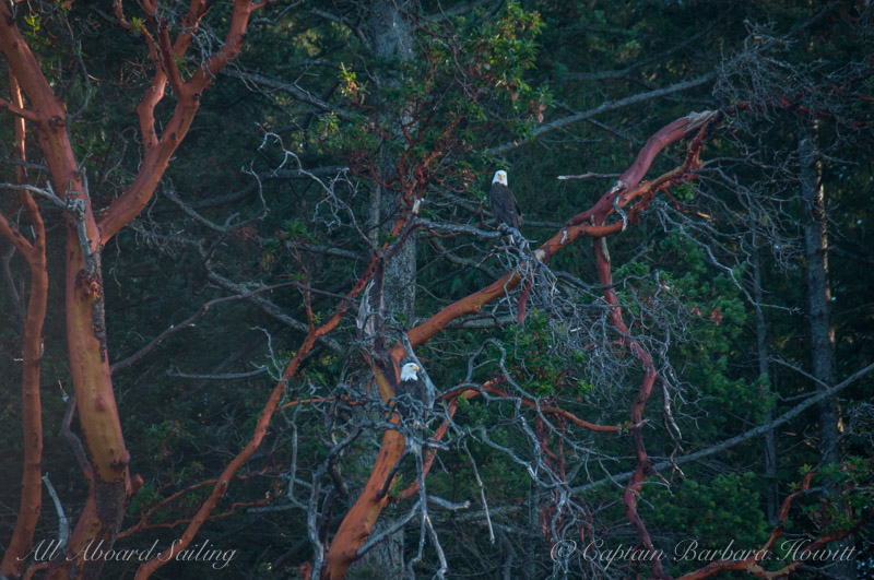 Bald Eagles in Madrone tree