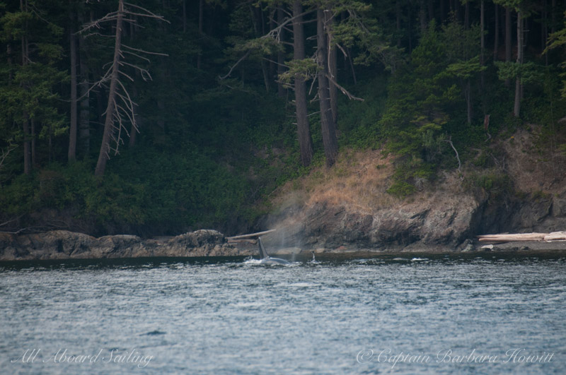 Transient Orcas T137s hunting Orcas Island