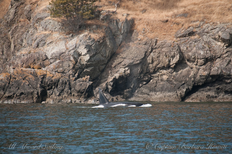T137A Male Orca