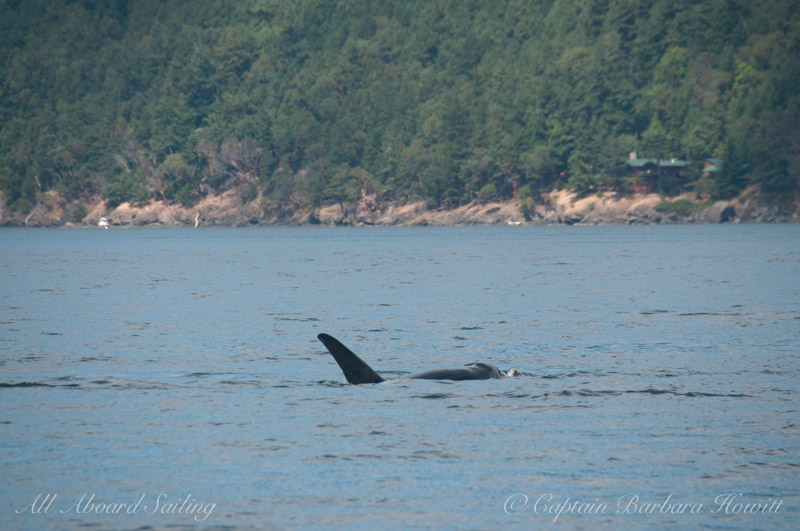 T137A Male Orca with Harbor SealT137A Male Orca with Harbor Seal