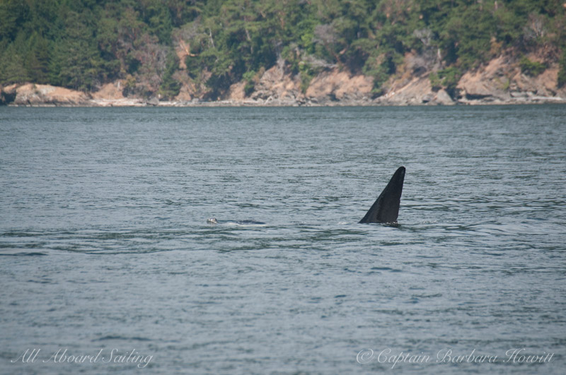 lT137A Male Orca with Harbor Seal