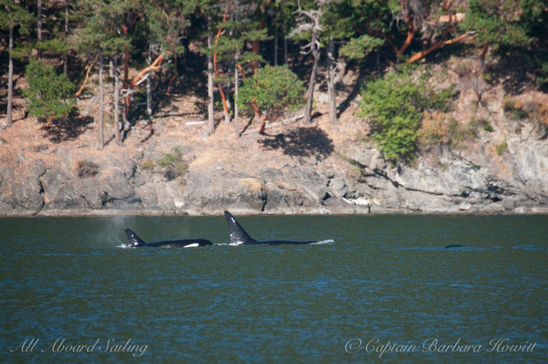 Transient Orcas T137A with Mum T137