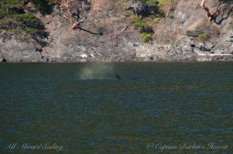 Transient Orca T137D with Rainblow, Orcas Island