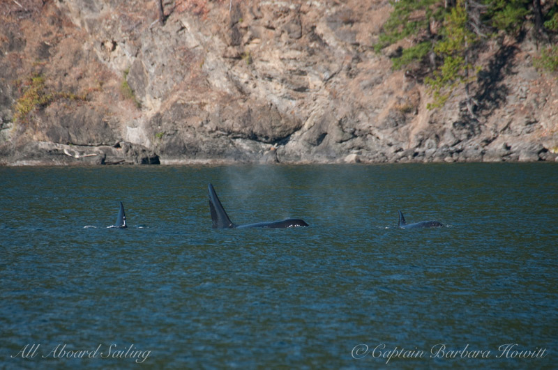 Transient Orca Family the T137s, Orcas Island Eastsound