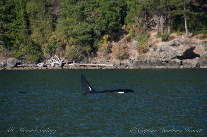 Transient Orcas T137A