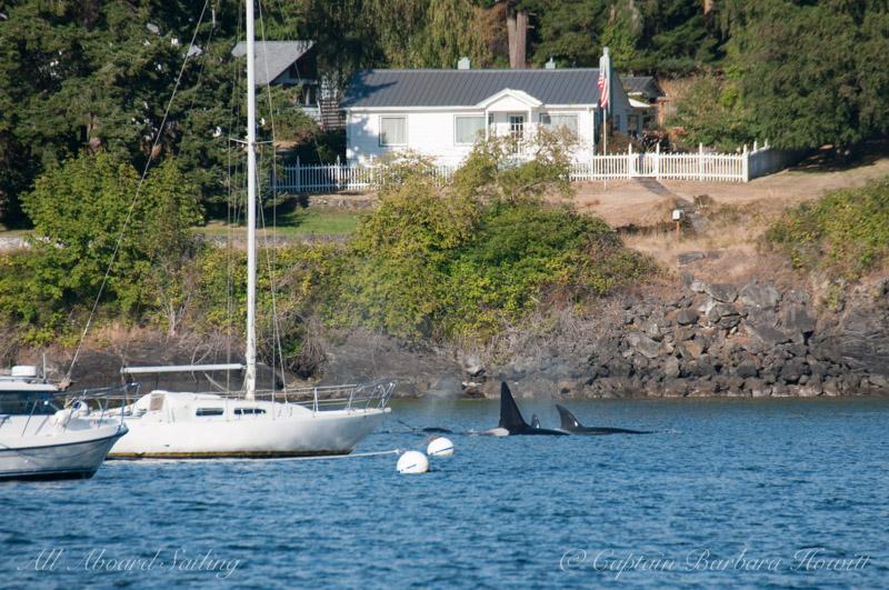 T137s hunting Orcas Island, Buck Bay