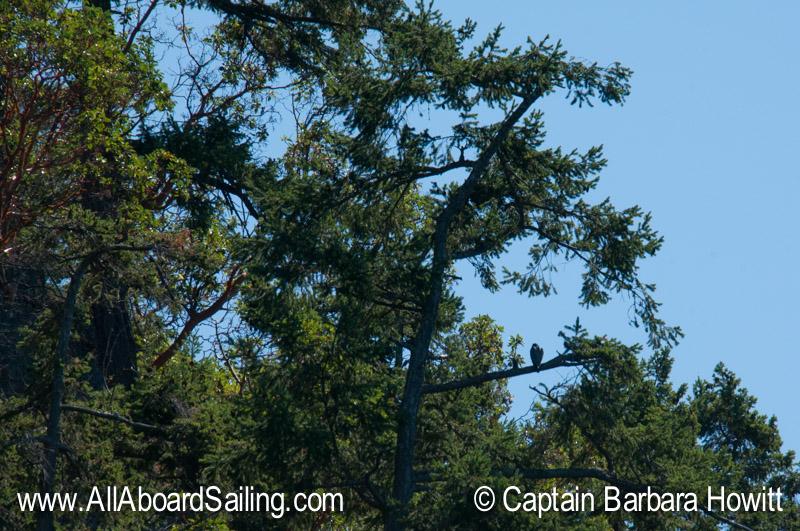 Peregrine Falcon, Upright Head Lopez Island
