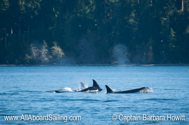 T30s Transient Orca Family