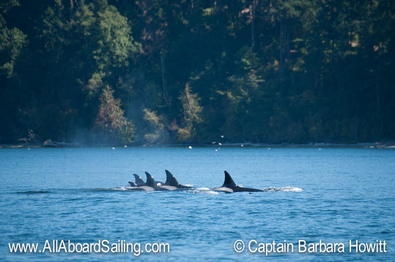 T30s Transient Orca Family Portrait