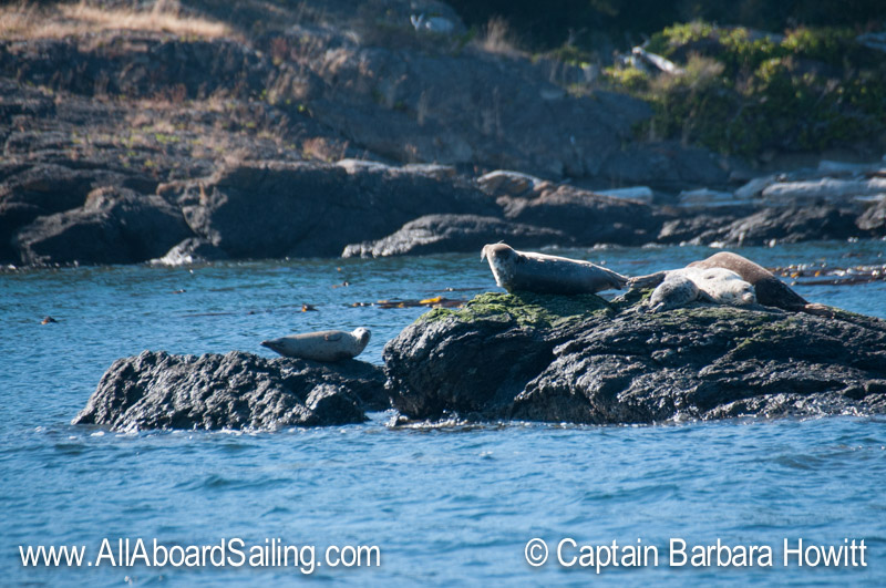 Harbor Seals Hauled out watching whales