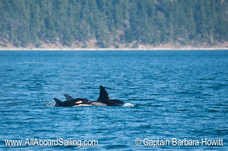 Biggs Orcas T30B with calf T30B1 behind and T30B2 the new calf born this year in front