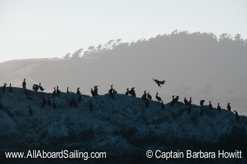 Cormorant colony of Goose island
